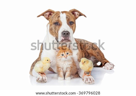 American staffordshire terrier dog with little kitten and chicks - stock photo