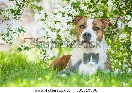 American staffordshire terrier dog with little kitten lying in flowers - stock photo