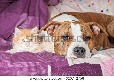 American staffordshire terrier dog with little kitten sleeping on the bed - stock photo