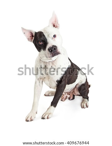 American Staffordshire Terrier dog with pointed cropped ears sitting over white looking into camera - stock photo