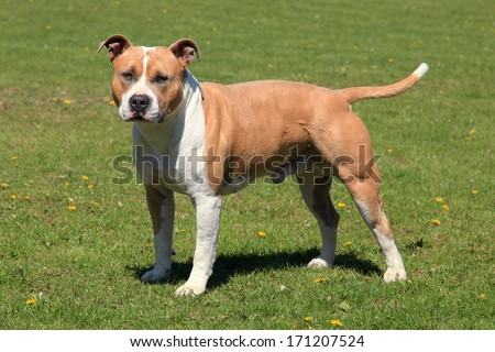 American Staffordshire Terrier in a green grass lawn - stock photo