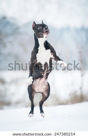 American staffordshire terrier jumping in the air in winter - stock photo