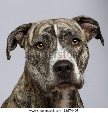 American Staffordshire terrier (18 months) in front of a white background - stock photo