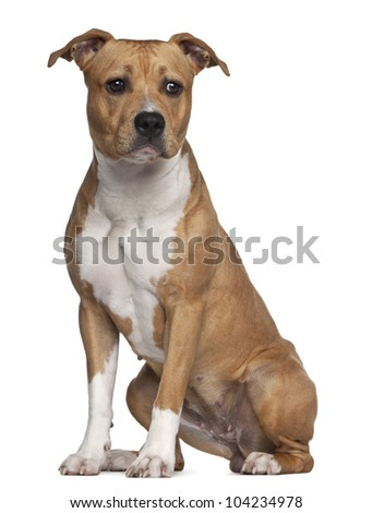 American Staffordshire Terrier, 8 months old, sitting against white background - stock photo