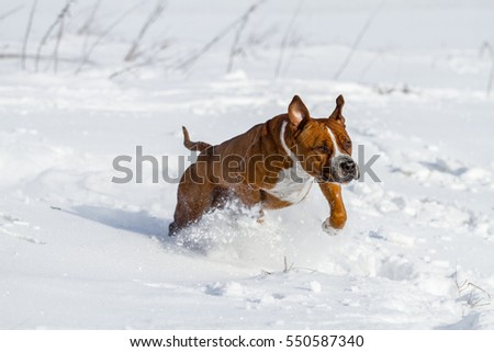 American staffordshire terrier on snow, stafford in winter, running amstaff, jumping stafford, happy terrier at snow, ast in winter
