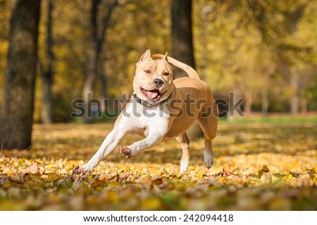 American staffordshire terrier playing in the park in autumn  - stock photo