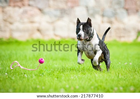 American staffordshire terrier playing with a ball - stock photo
