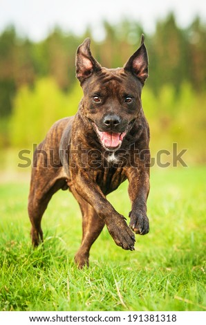 American staffordshire terrier playing with ball - stock photo