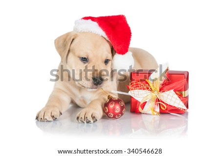 American staffordshire terrier puppy dressed in a christmas hat with a gift and christmas ball