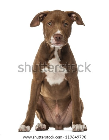 American Staffordshire Terrier puppy, 4 months old, sitting and looking at camera against white background