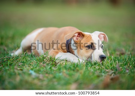 American Staffordshire terrier puppy on a grass