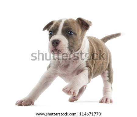 American Staffordshire Terrier Puppy running, 6 weeks old, against white background
