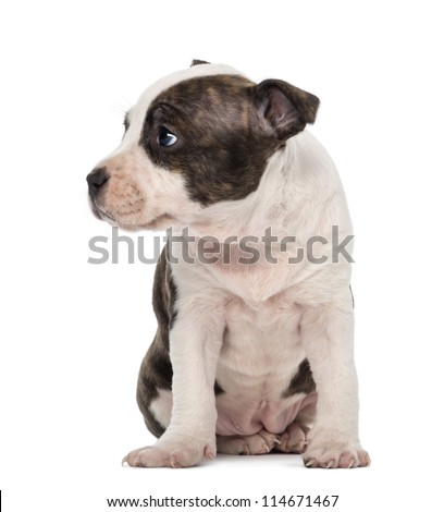 American Staffordshire Terrier Puppy sitting and looking away, 6 weeks old, against white background