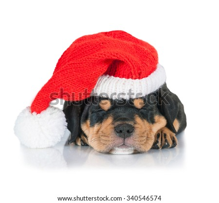 American staffordshire terrier puppy sleeping dressed in a christmas hat
