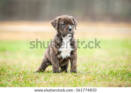 American staffordshire terrier puppy standing outdoors in summer