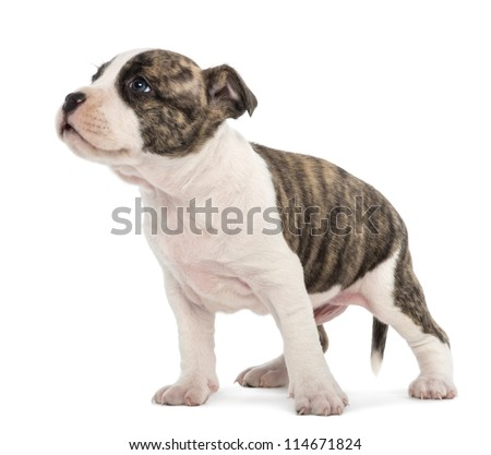 American Staffordshire Terrier Puppy, 6 weeks old, against white background