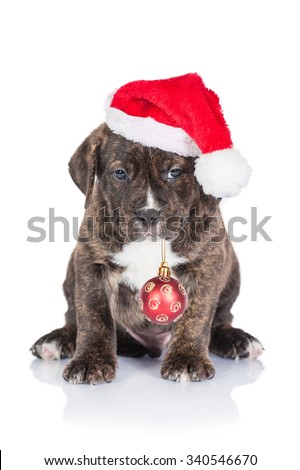 American staffordshire terrier puppy with a santa claus hat and a christmas ball - stock photo