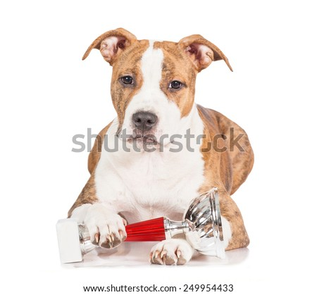 American staffordshire terrier puppy with a winner cup