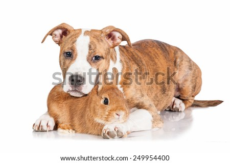 American staffordshire terrier puppy with little rabbit