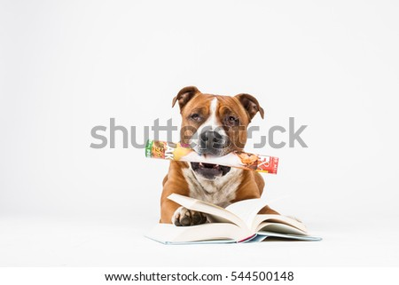 American staffordshire terrier, reading dog