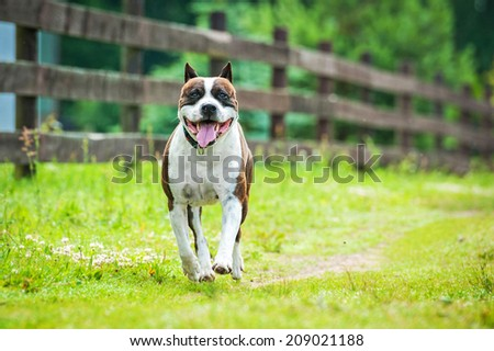 American staffordshire terrier running along the fence