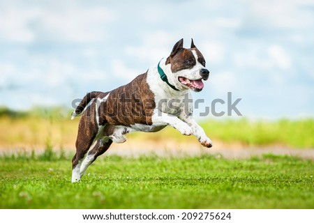 American staffordshire terrier running in summer - stock photo