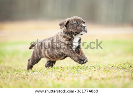 American staffordshire terrier running outdoors in summer - stock photo