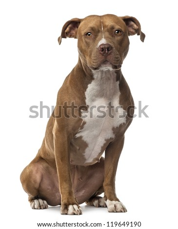 American Staffordshire Terrier sitting and looking at camera against white background - stock photo