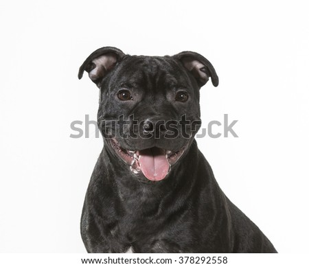 American Staffordshire Terrier sitting in a studio.