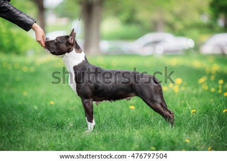 American Staffordshire Terrier Standing