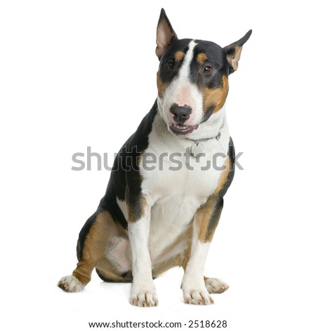 American Staffordshire terrier white hazel black sitting in front of white background - stock photo