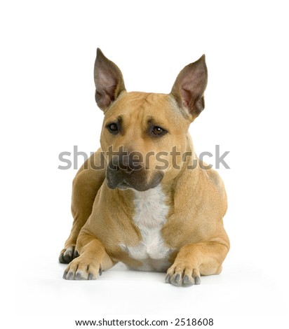 American Staffordshire terrier white hazel lying in front of white background