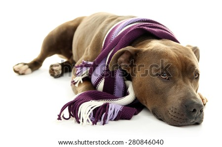 American Staffordshire Terrier with colorful scarf isolated on white
