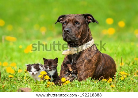 American staffordshire terrier with little kittens lying on the field with dandelions - stock photo