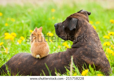 American staffordshire terrier with little rabbit sitting on its back - stock photo