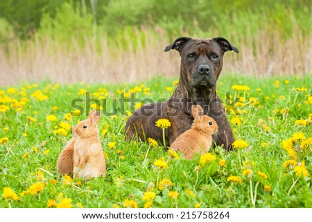 American staffordshire terrier with three little rabbits on the field with dandelions - stock photo