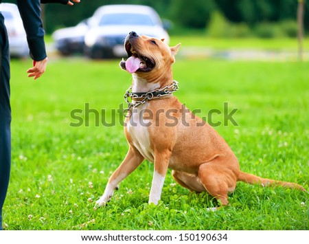 American StaffordshireTerrier in training process on lawn - stock photo