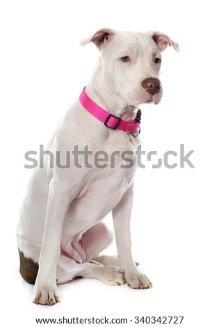 american stafforshire terrier in front of white background