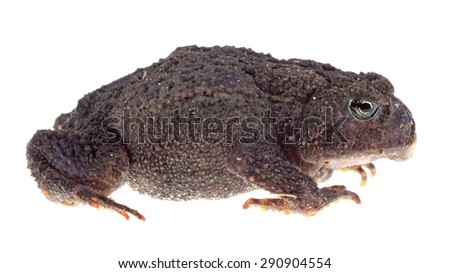American toad, Anaxyrus americanus, isolated on white - stock photo