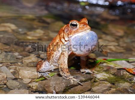 American toad (Bufo americanus) - stock photo