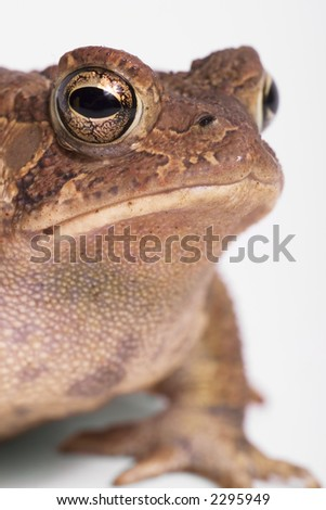 American toad close up.