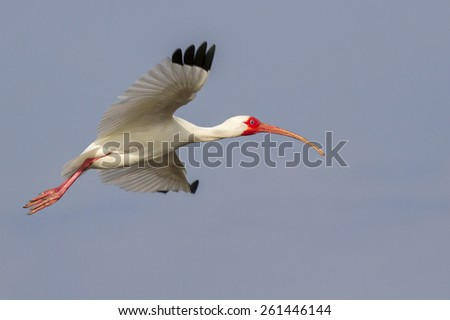 American white ibis (Eudocimus albus) flying, Galveston, Texas, USA. - stock photo