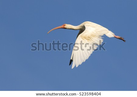 American white ibis (Eudocimus albus) flying, Galveston, Texas, USA