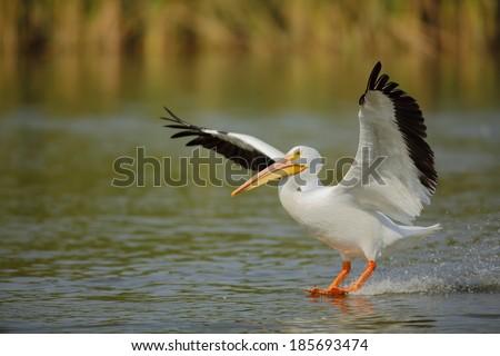 American White Pelican. - stock photo