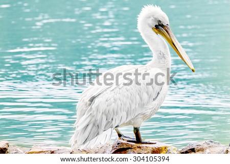 American White-Pelican (Pelecanus erythrohynchos). - stock photo