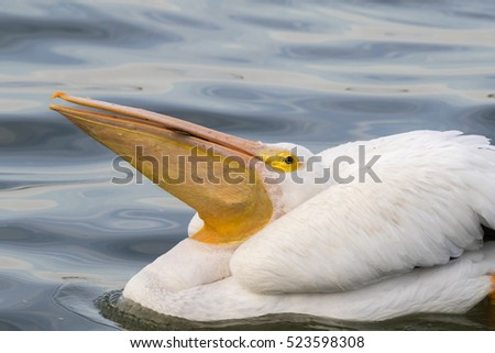 American white pelican (Pelecanus erythrorhynchos) swallowing a big fish, Galveston, Texas, USA