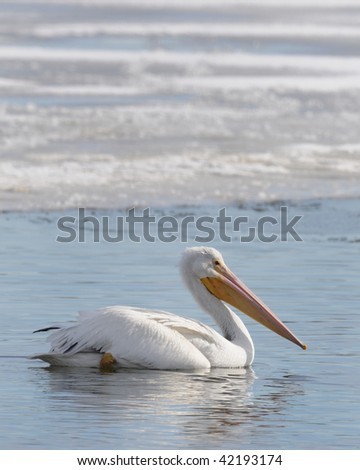 American White Pelican (Pelecanus onocrotalus) on the icy Mississippi River - stock photo
