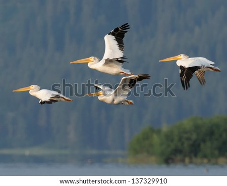 American White Pelicans Flying  - stock photo