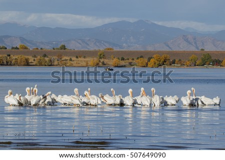 American White Pelicans take a rest from autumn migration at Cherry Creek Reservoir in suburban Denver, Colorado.