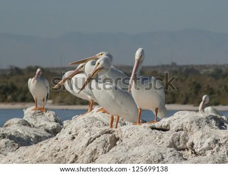 American white pelicans, the Salton sea - stock photo